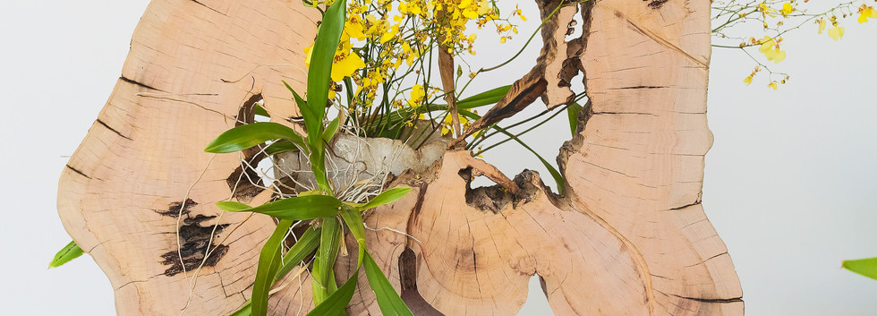 Orquidea chuva de ouro.jpg