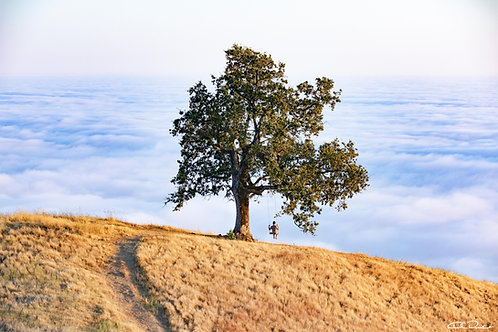 LONELY OAK