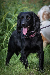 Wrencourt - black spaniel gundog training