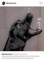 Labrador äter såpbubblor.jpg