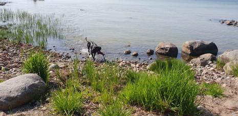 Labrador apportering.jpg