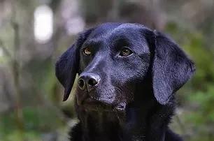"""Svart labrador Kennel Hunt´rets """"Grodan"""""""