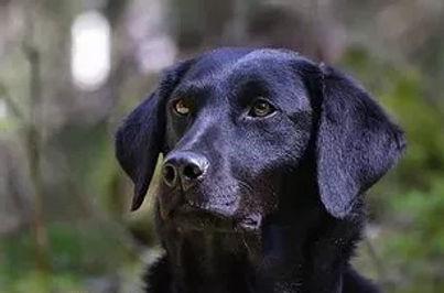 "Svart Labrador Kennel Huntrets Meireles ""Grodan"""