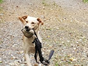 Labrador apportering