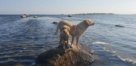 Kennel Huntrets gul labrador.jpg