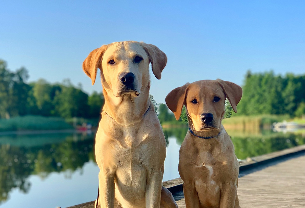 Två gula labradorer vid sjön