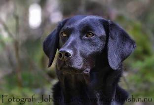 Labrador Grodan