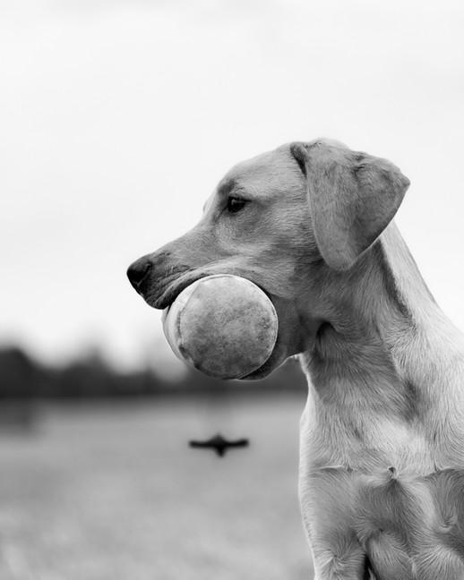 Apportering labrador