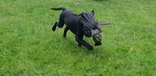 Labrador retriever apportering - Kennel Huntrets