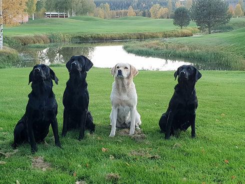 Fyra labradorer vid sjö - Kennel Huntrets