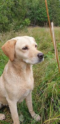 Gul labrador Kennel Huntrets Klara