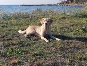 Labrador ligger och solar.jpg