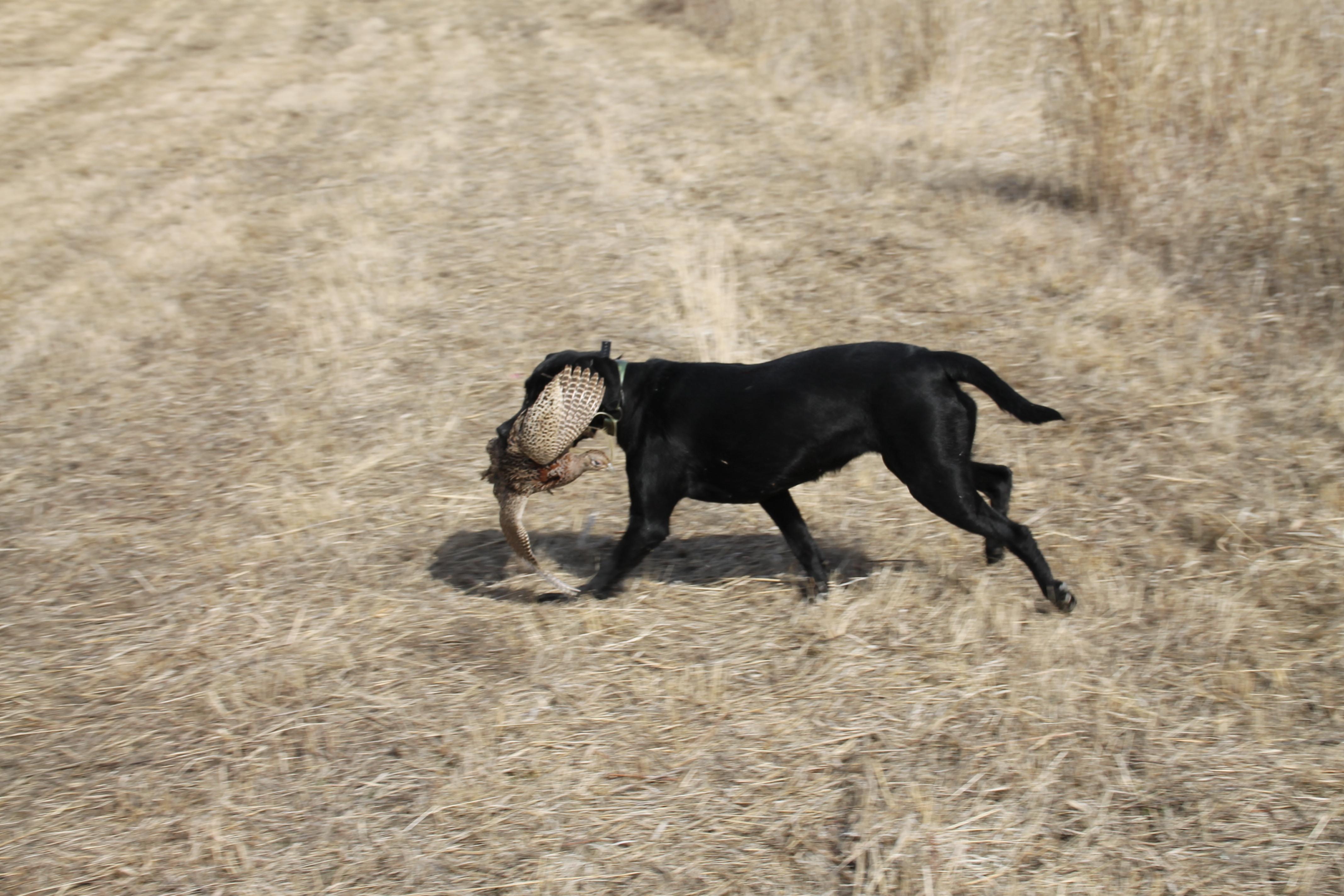 Dog retrieving pheasant