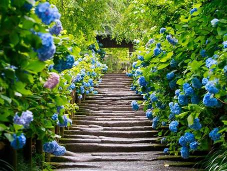 鎌倉で【紫陽花】を見た後は楠の木へ♪