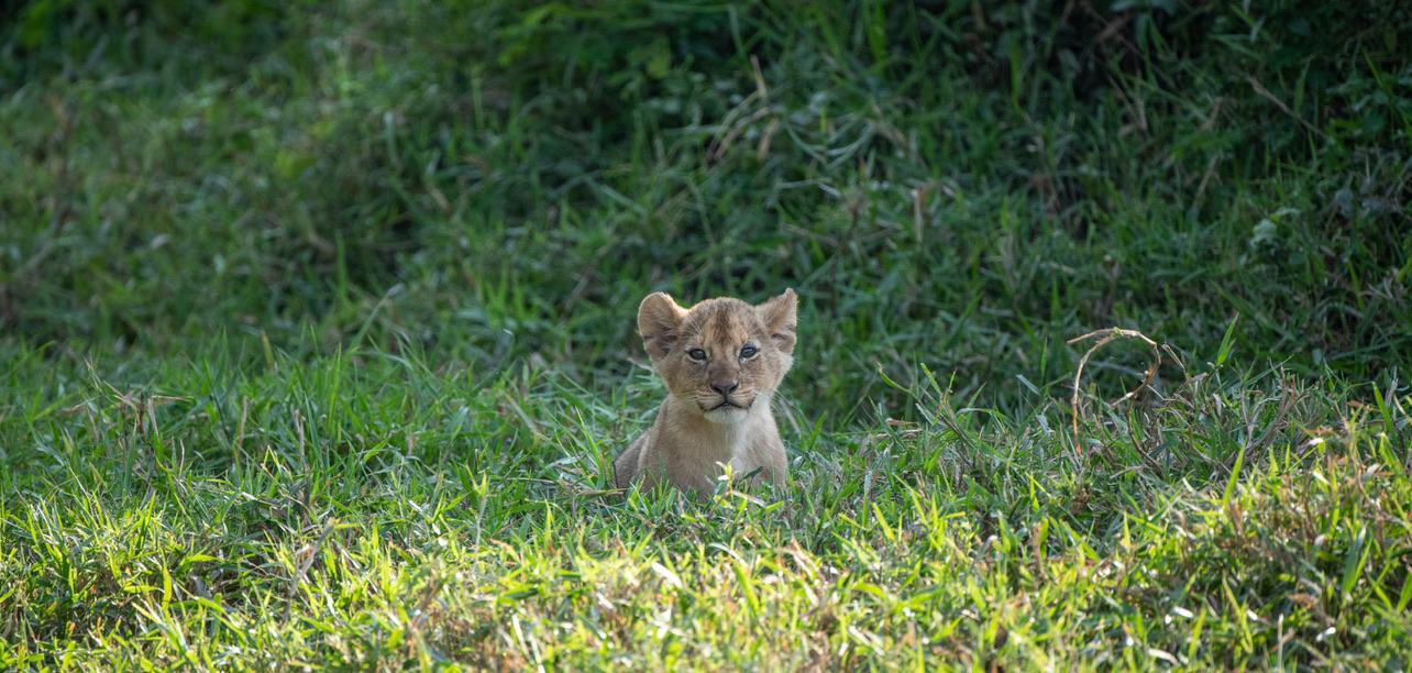 Lion Cub, Tanzania