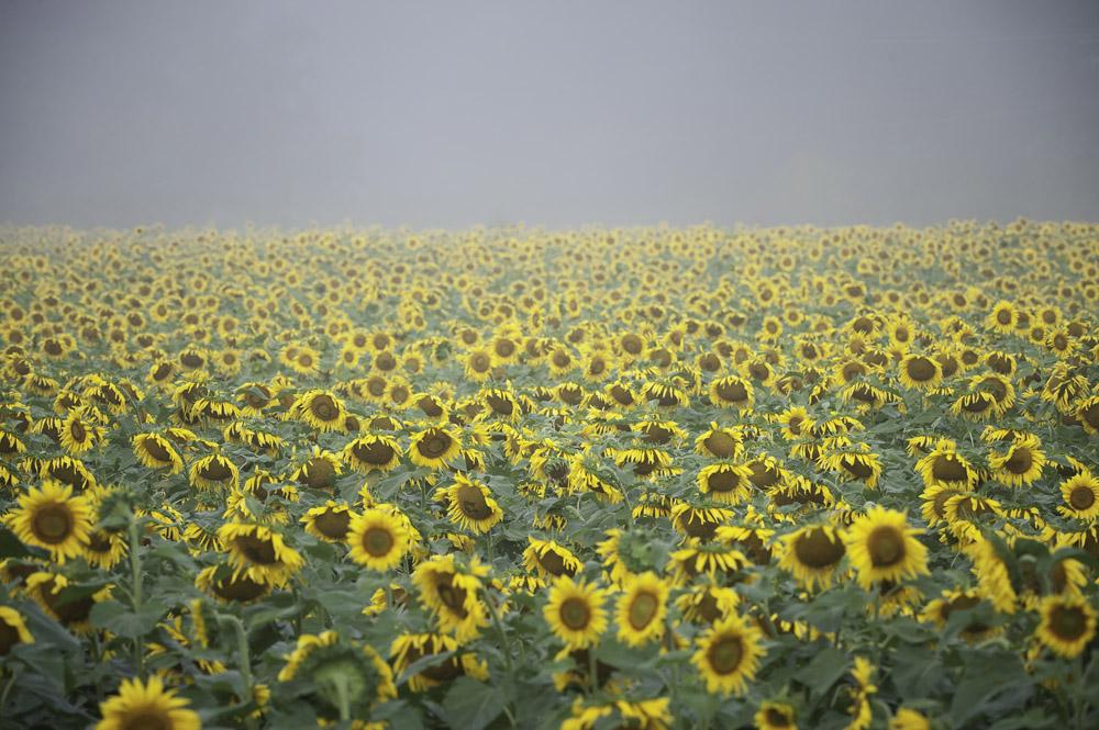 Sunflowers, Poughkeepsie