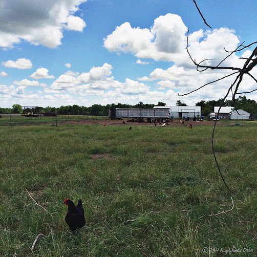 Pastured Chickens on a real farm