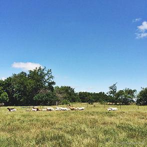 Free range, sustainable farm raising lambs