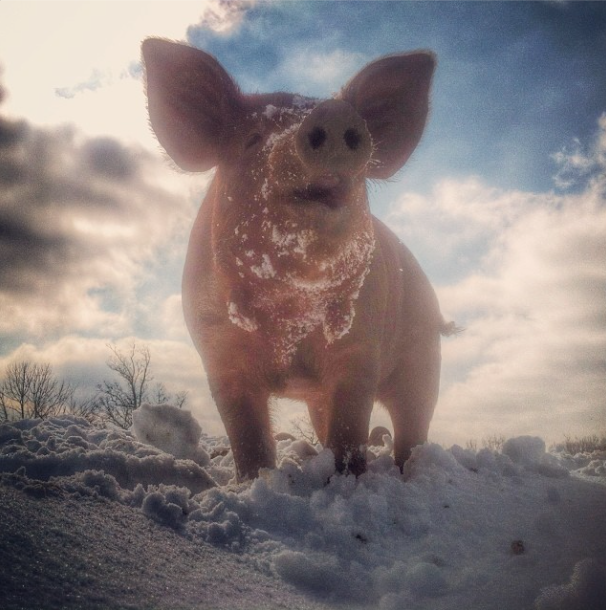 Pig in the snow.png