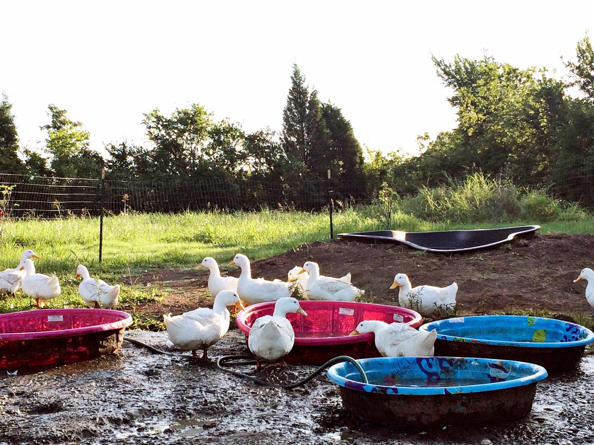 Ducks on a farm in Sunnyvale, near Dallas.jpg