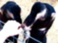 Latte Da Dairy Goats