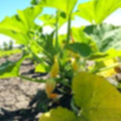 How do squash blossoms grow?