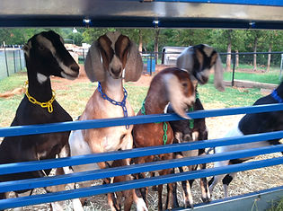 Latte Da dairy Farm goats