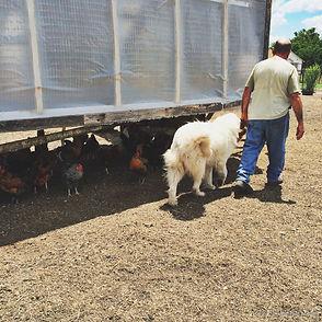 Pastured Chickens near Dallas