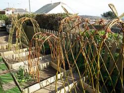 marazion school willow arches