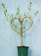 living willow potted heart