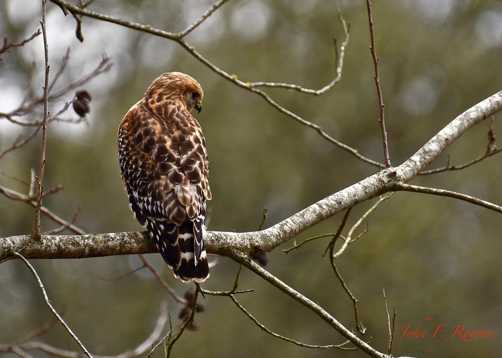 Red Shouldered Hawk, Buescher State Park Tx