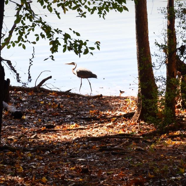 Heron cursing the beach