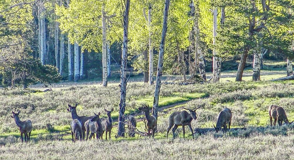 Elk in the Ashley National Forest, Utah