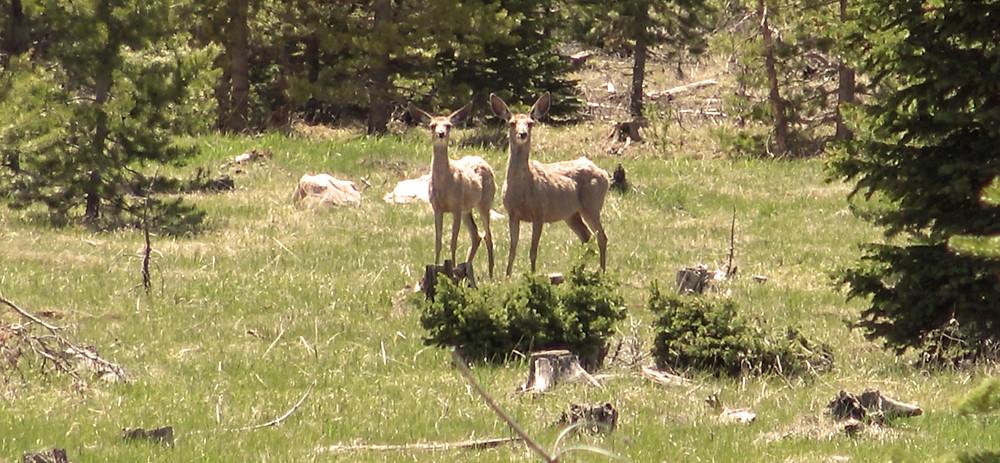 Mule Deer in the Ashley National Forest, Utah