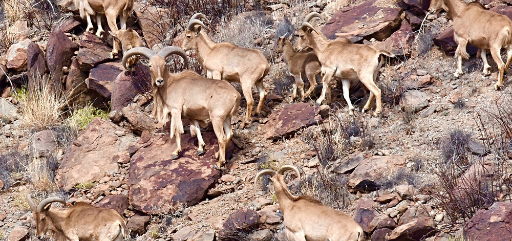 Aoudad or Barberry Sheep. Not a native species to North America.