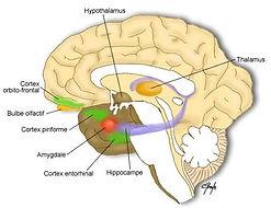 cerveau émotionnel.jpg