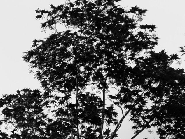 Maple Silhouette