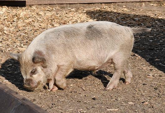 sterling boar - smaller 7-21.jpg