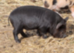 sweet pea black boar.jpg