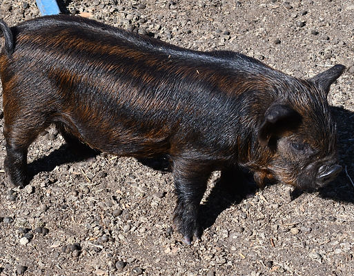 kate brown boar 10-21.jpg