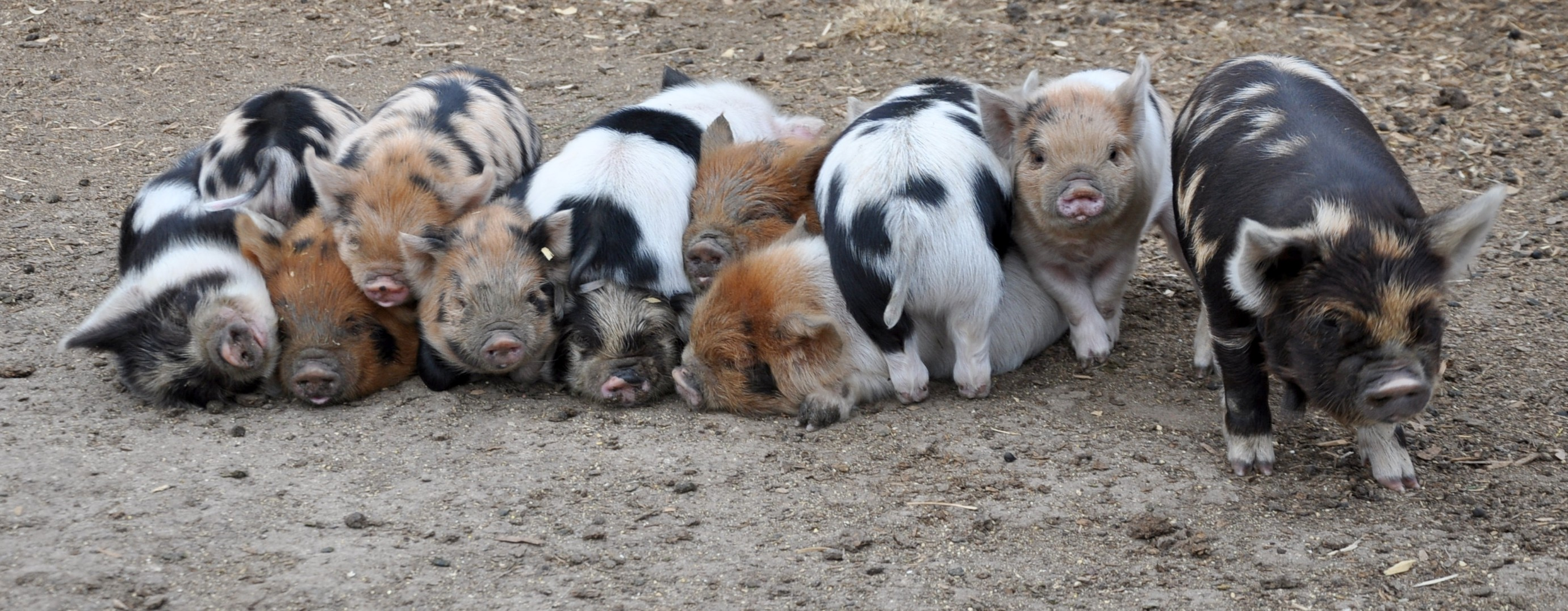 piggie in a row