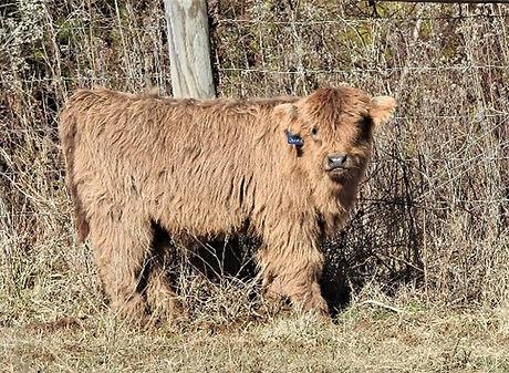 Highland-calf-Joshua-at-three-months-600