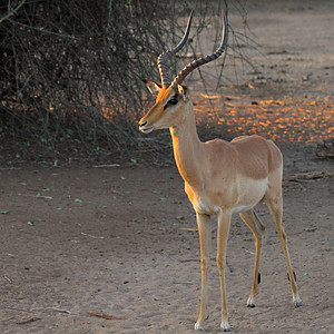 Chobi safari