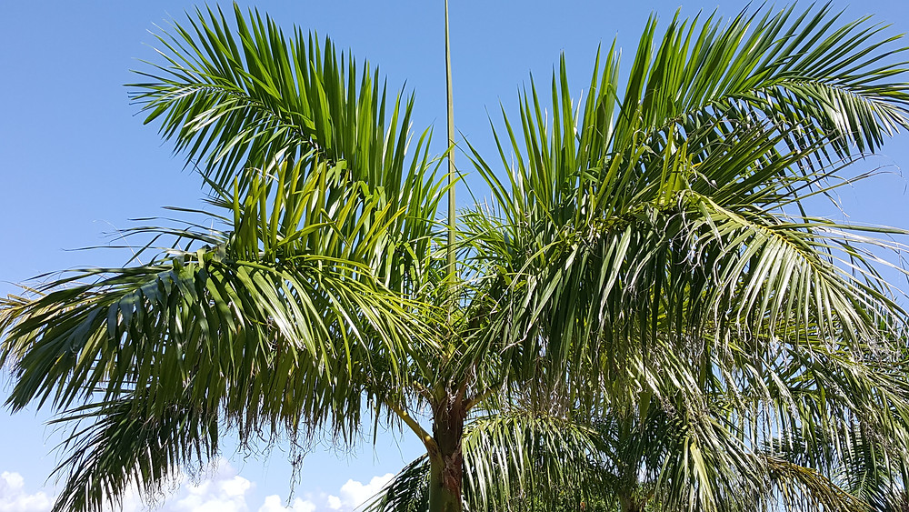Linear Fronds