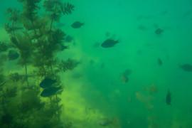 Sonnenbarsch unterwasser donau.jpeg