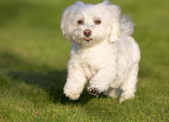 כלבלב לבן