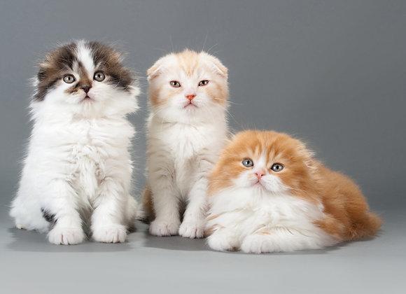שלישית חתולים