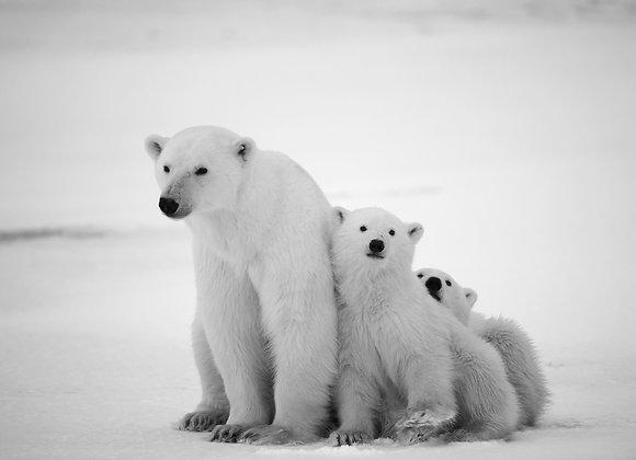 דובים לבנים