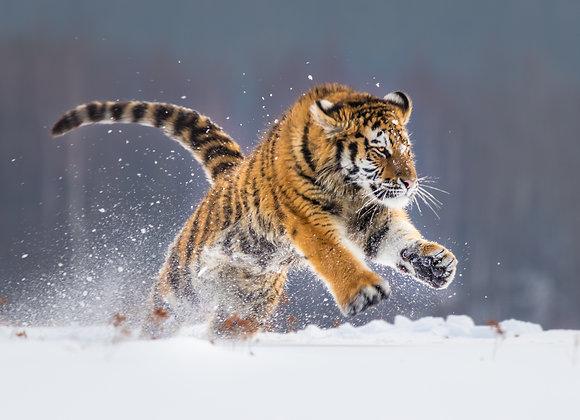 נמר משחק בשלג