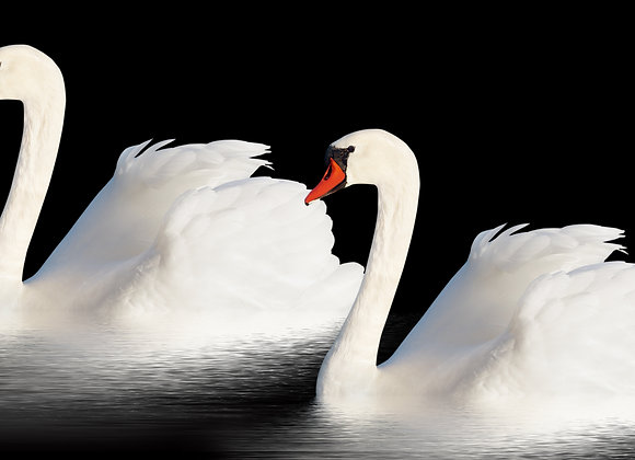 שני ברבורים לבנים שטים
